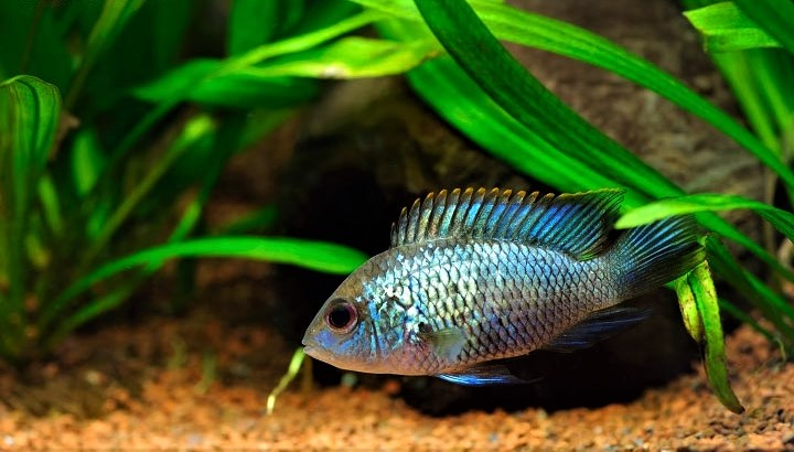 Electric-Blue-Acara-Featured-Image