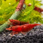 Everything You Need to Know About Red Shrimp