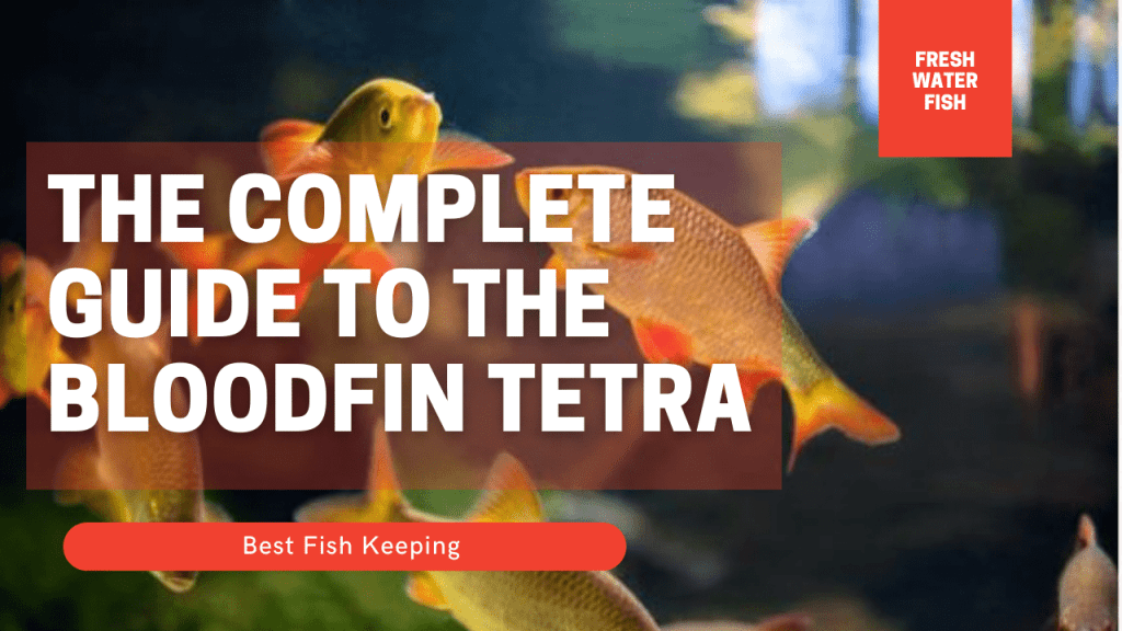 The Complete Guide to the Bloodfin Tetra