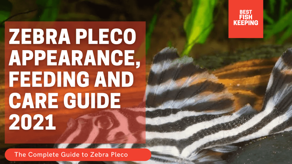 Zebra Pleco Appearance, Feeding and Care Guide 2021