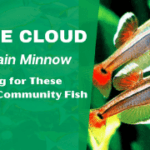 White Cloud Mountain Minnow: Caring for These Colorful Community Fish
