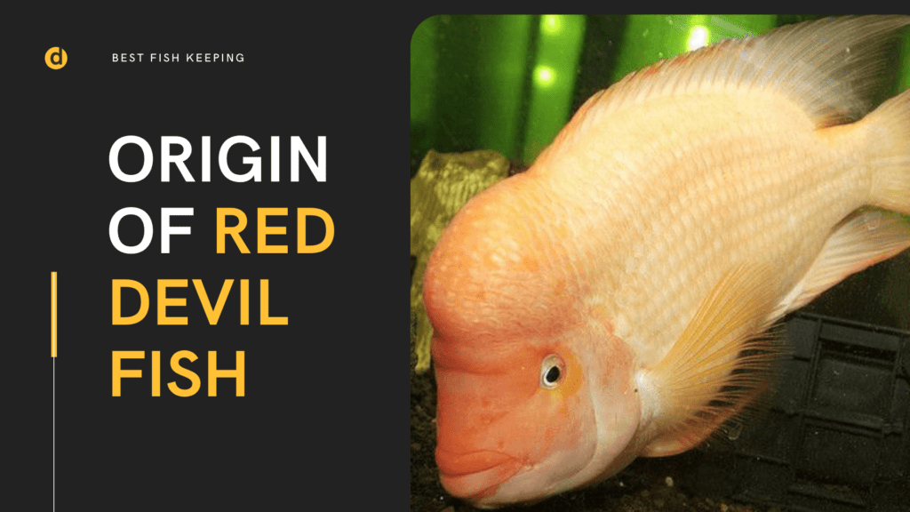 Red Devil Cichlid (Amphilophus