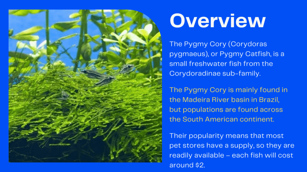 Overview of Pygmy Cory