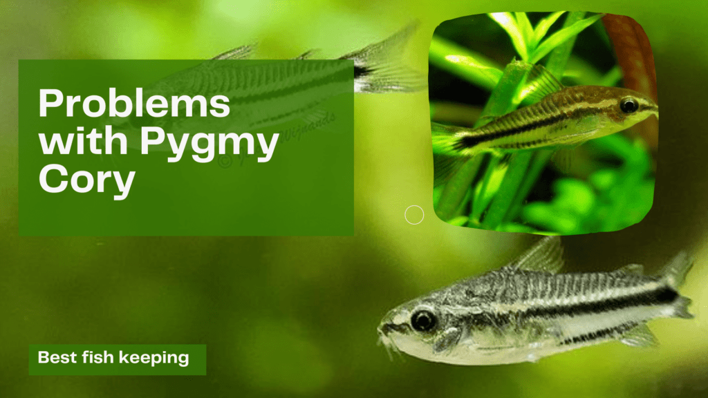 Problems with Pygmy Cory