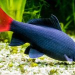 Red Tail Shark | Care, Food, Tankmates, and Reproduction Guide