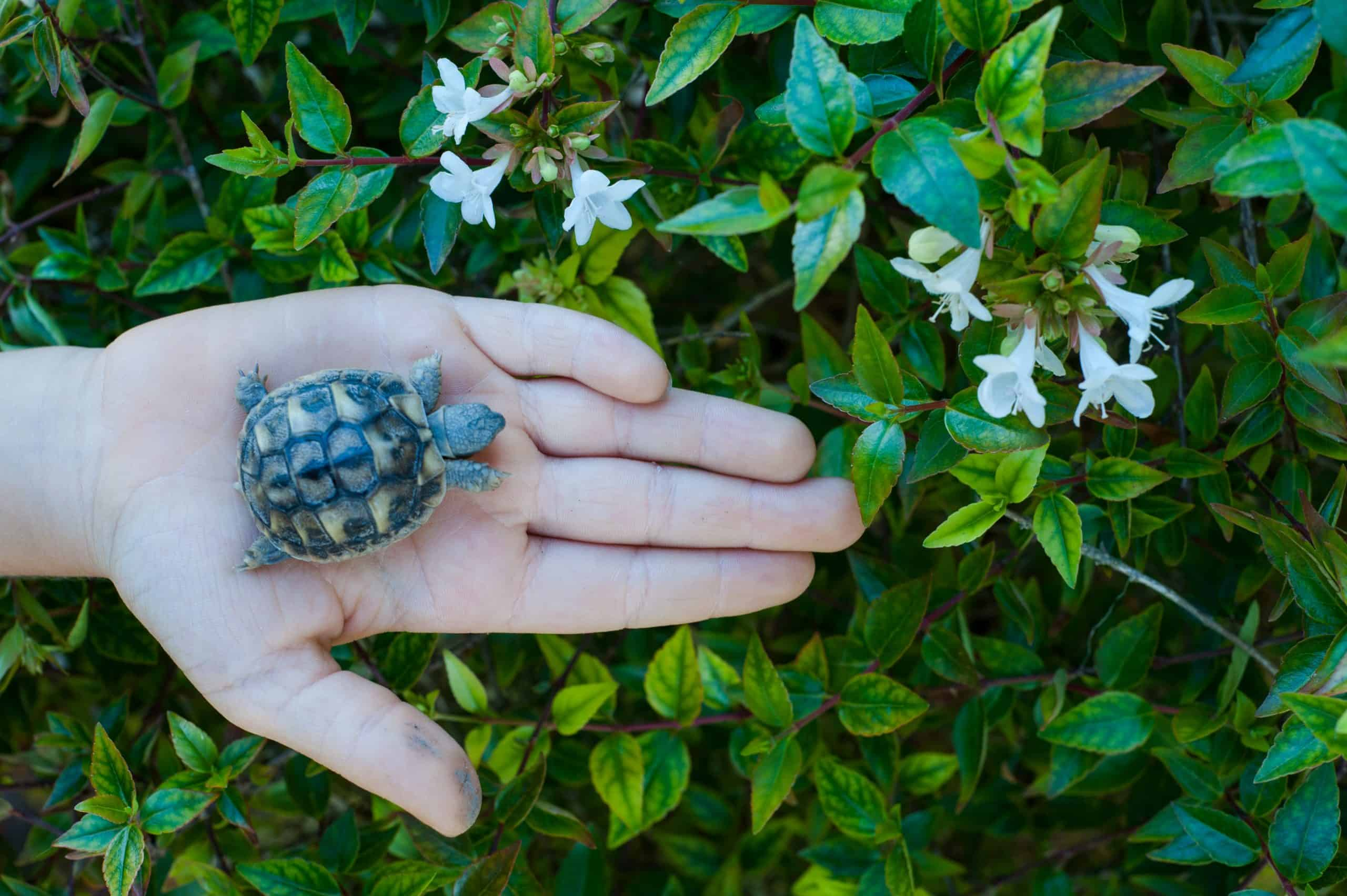 holding-a-baby-turtle