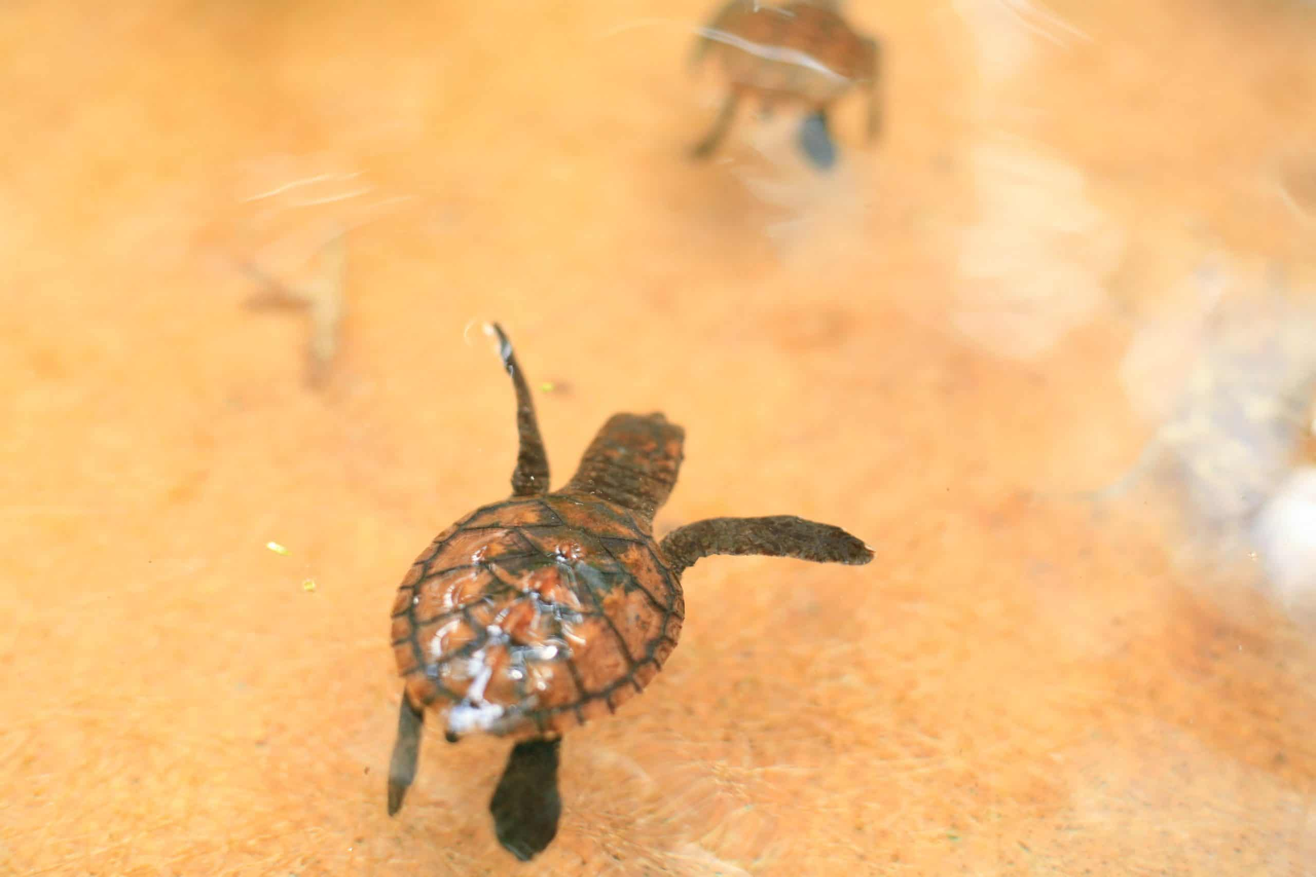 where-do-baby-turtle-live
