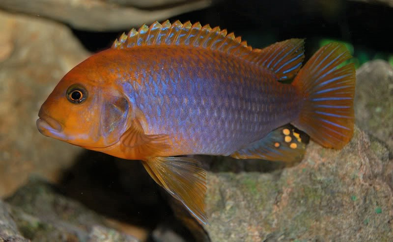 Rusty Cichlids compatibility with other fish