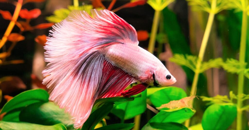 Swim Bladder Disease Betta Symptoms & Diagnosis