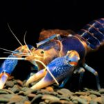 What Do Crayfish Eat?   What To Feed Crayfish In The Aquarium?