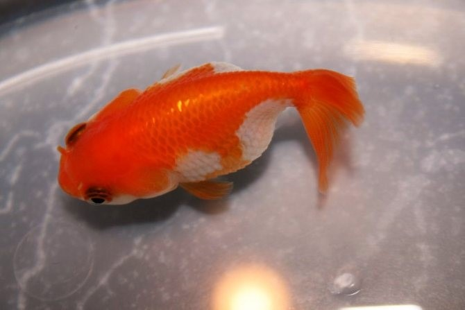 Why Dropsy Can Occur In Fish