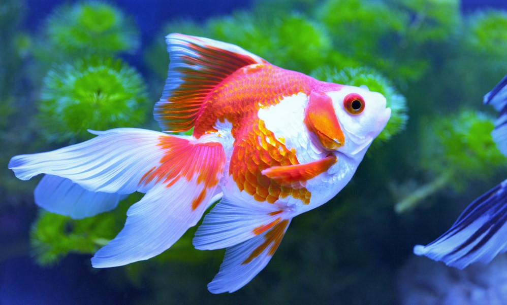 fantail goldfish for aquarium