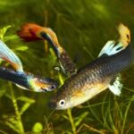 Guppy Diseases | Symptoms, Causes And Cure Or Treatment