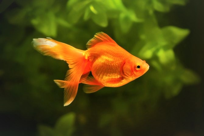 what is dropsy in fish
