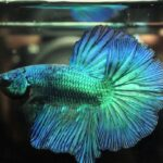 7 Reasons Why Betta Fish Not Eating? All Possible Answers