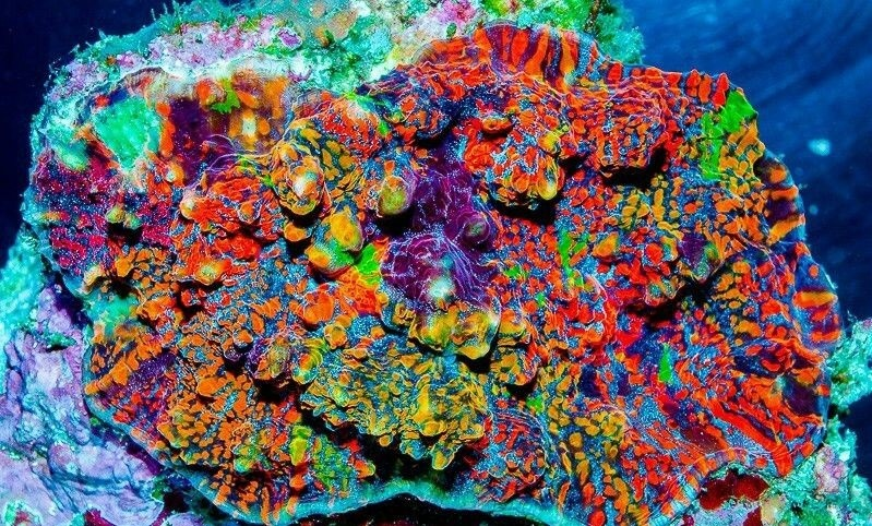 Chalice Coral Identification