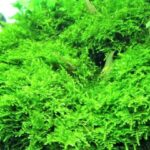 A Complete Guide to Christmas Moss Care, Propagation and Issues