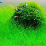 Dwarf Hairgrass Care Guide: Carpeting And Planting