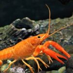 Mexican Dwarf Crayfish – The Complete Practical Care Guide