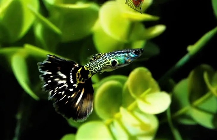 Patterned-Guppy-Fish