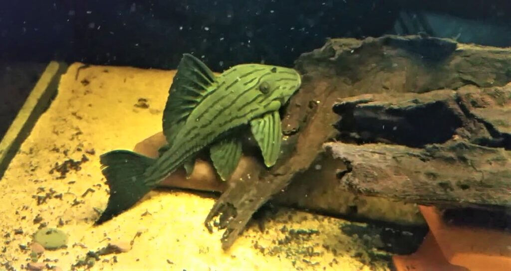 Peruvian Green Royal Pleco