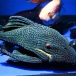 Complete Guide for Royal Pleco Care, Diseases, Growth and Feeding