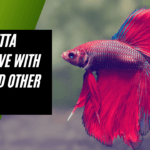 Can Betta Fish Live with Koi and other Fish?