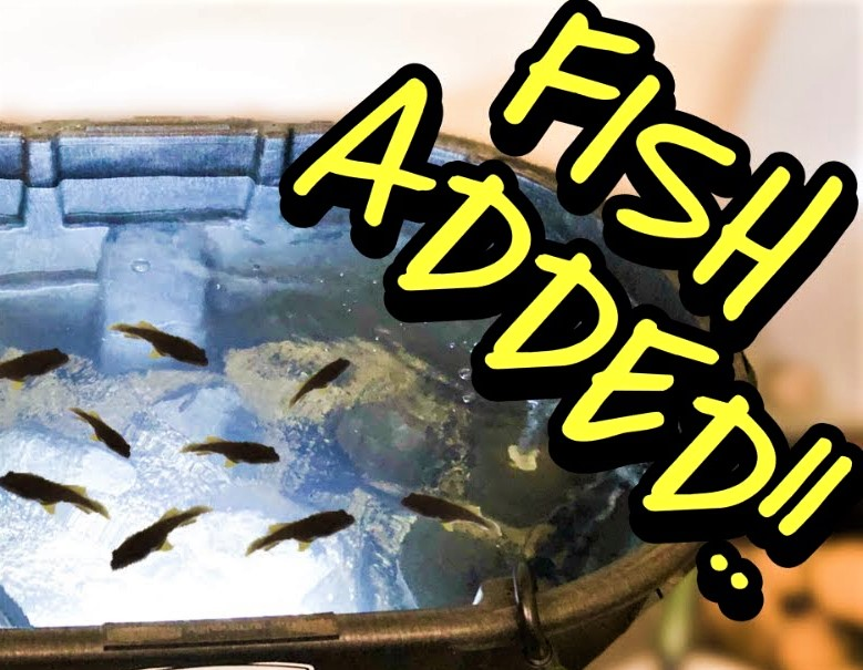 How to adding fish to pond
