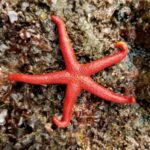 What do Starfish Eat in a Tank?