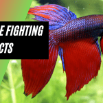 Siamese Fighting Fish Facts - Best Fish Keeping