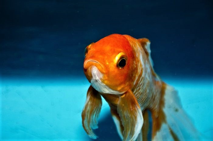 How to Euthanize a Fish