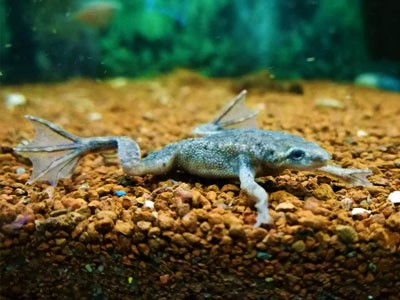 african dwarf frogs for tank